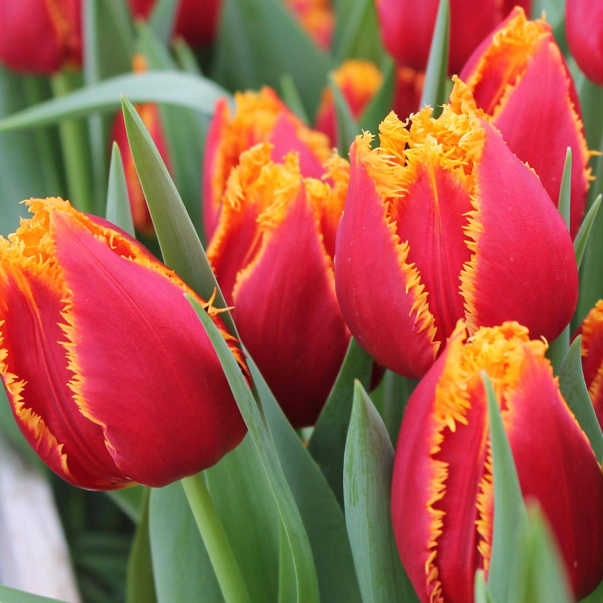 тюльпаны бахромчатые сорта и фото увернулся встречной